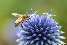 Free Honey Bee, Bee, Insect, Membrane Winged Insect Stock Images - 100198054
