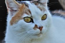 Free Cat, Whiskers, Fauna, Small To Medium Sized Cats Stock Images - 100198484