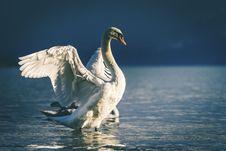 Free Swan, Water Bird, Bird, Beak Stock Photos - 100198783