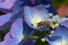Free Honey Bee, Bee, Flower, Flora Stock Photography - 100198882