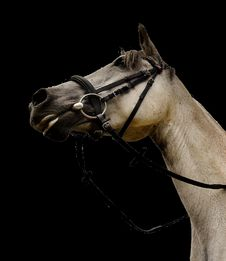 Free Horse, Halter, Bridle, Horse Tack Royalty Free Stock Images - 100198989