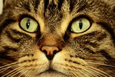 Free Cat, Whiskers, Mammal, Eye Royalty Free Stock Photos - 100199138