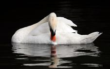 Free Bird, Swan, Water Bird, Ducks Geese And Swans Royalty Free Stock Photography - 100199237