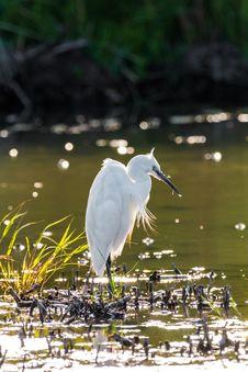 Free Bird, Water, Beak, Egret Royalty Free Stock Images - 100199359