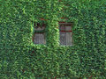Free Ivy On Wall. Stock Photography - 10029362