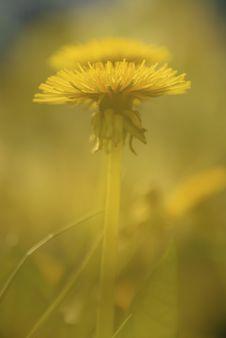 Free Dandelion Background Stock Photos - 10021093