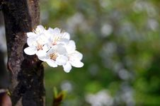 Free Cherry Blossom Royalty Free Stock Photos - 10023298