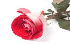 Free Red Rose Royalty Free Stock Image - 10023756