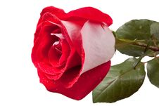 Free Red Rose Royalty Free Stock Photo - 10023765
