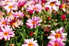 Free Cluster Of Pink Dasies Royalty Free Stock Images - 10024779