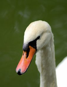 Free Swan Stock Photos - 10025743