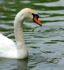 Free Swan Stock Photos - 10025753