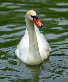 Free Swan Royalty Free Stock Images - 10025769