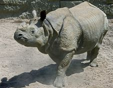 Free Great Indian Rhinoceros 4 Royalty Free Stock Photos - 10025968