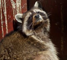 Free Racoon In The Dumpster Royalty Free Stock Images - 10026949