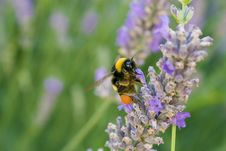 Free Bee Standing In A Flower Royalty Free Stock Photo - 10027535