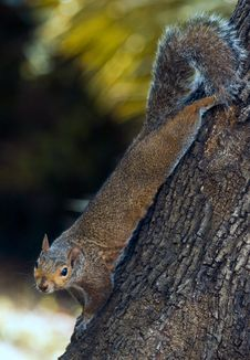 Free Squirrel Royalty Free Stock Photos - 10027568