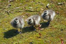 Free Three Goslings Royalty Free Stock Images - 10029909