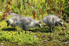 Free Fluffy Goslings Royalty Free Stock Photography - 10029917