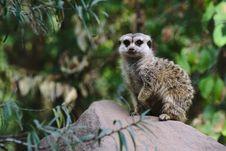 Free Meerkat, Fauna, Mammal, Viverridae Stock Photo - 100242890