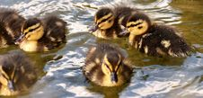 Free Duck, Bird, Ducks Geese And Swans, Water Bird Stock Photography - 100243062