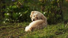 Free Dog Breed, Dog, Dog Like Mammal, Goldendoodle Royalty Free Stock Images - 100243199
