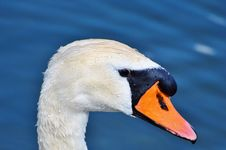 Free Beak, Bird, Water Bird, Ducks Geese And Swans Royalty Free Stock Photography - 100243247