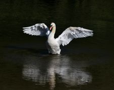 Free Bird, Swan, Water Bird, Ducks Geese And Swans Stock Photo - 100243540