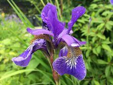 Free Flower, Plant, Iris Versicolor, Flowering Plant Stock Image - 100243761