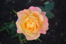 Free Flower, Rose, Rose Family, Pink Royalty Free Stock Image - 100243896