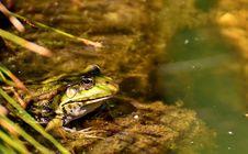 Free Ranidae, Ecosystem, Water, Amphibian Stock Images - 100244044