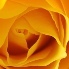Free Yellow, Orange, Flower, Rose Family Stock Images - 100244234