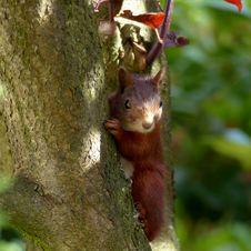 Free Squirrel, Fauna, Mammal, Fox Squirrel Royalty Free Stock Photo - 100244285
