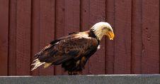 Free Eagle, Bird Of Prey, Beak, Bird Stock Photos - 100244363
