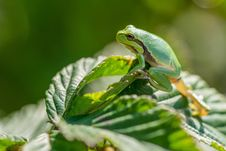 Free Frog, Leaf, Amphibian, Tree Frog Stock Photography - 100244412