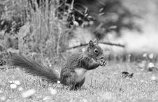 Free Squirrel, Black And White, Fauna, Mammal Royalty Free Stock Photos - 100244418