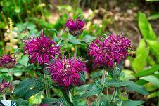 Free Plant, Flower, Scarlet Beebalm, Flora Stock Photo - 100244420