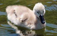 Free Bird, Swan, Water Bird, Ducks Geese And Swans Royalty Free Stock Image - 100244706