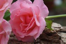 Free Rose, Pink, Flower, Rose Family Royalty Free Stock Image - 100244736