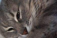 Free Cat, Whiskers, Mammal, Small To Medium Sized Cats Royalty Free Stock Images - 100244759