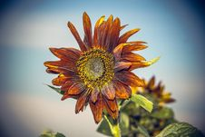Free Flower, Sunflower, Flora, Close Up Royalty Free Stock Photo - 100244805