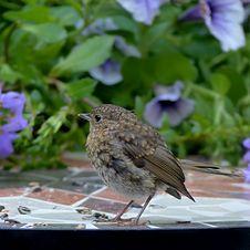 Free Bird, Fauna, Beak, Old World Flycatcher Royalty Free Stock Image - 100244806