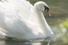 Free Swan, Bird, Water Bird, Ducks Geese And Swans Stock Photography - 100244822