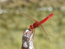 Free Dragonfly, Insect, Dragonflies And Damseflies, Invertebrate Stock Photo - 100244950