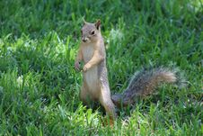 Free Squirrel, Mammal, Fauna, Fox Squirrel Stock Photography - 100244982