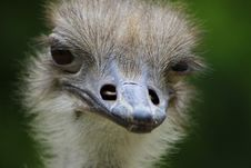 Free Ostrich, Beak, Ratite, Bird Royalty Free Stock Image - 100245146