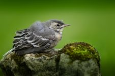 Free Bird, Fauna, Beak, Old World Flycatcher Stock Photography - 100245162