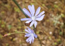 Free Plant, Flora, Flower, Chicory Stock Photo - 100245330