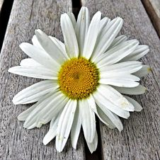Free Flower, Oxeye Daisy, Daisy, Daisy Family Stock Photo - 100245350