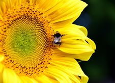 Free Flower, Honey Bee, Sunflower, Yellow Stock Images - 100245424